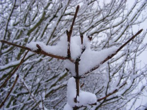 twig covered in snow