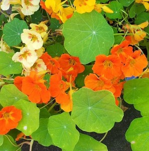 nasturtiums for vodka