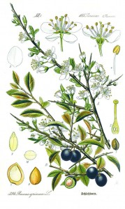 How to identify sloes