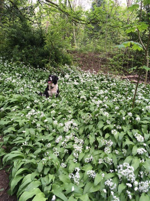 Nellie the dog in a patch of wild garlic